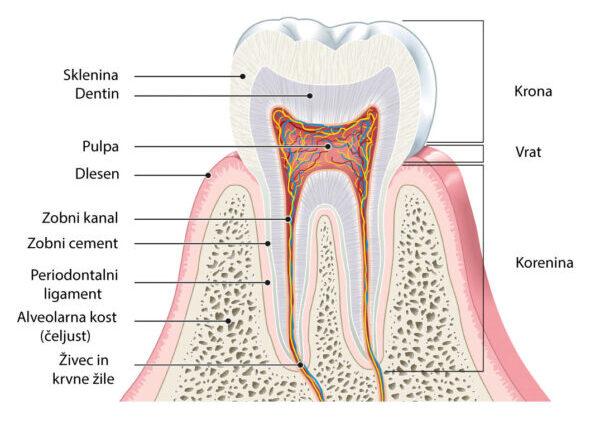 Anatomija zoba